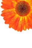 Gerbers â Solarblumen, Eilvergnügen und Liebe zu einer Lebensdauer Lizenzfreies Stockbild