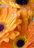 gerbers влажные Стоковое Фото