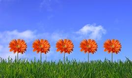 gerbers предпосылки засевают небо травой Стоковые Фотографии RF