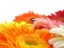 Gerbers. Beautiful arrangment of gerbers on white stock photo