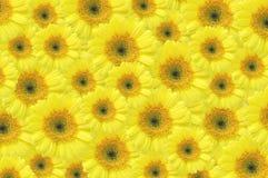 Gerbers amarillos Fotos de archivo