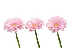 Gerbers cor-de-rosa Foto de Stock