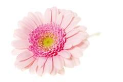 Gerbers cor-de-rosa macios isolados em um fundo branco Imagem de Stock
