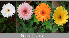 Gerbers Flowers. Collection of gerbers flower in garden Royalty Free Stock Image