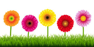 Gerbers And Grass Border. Vector Illustration Royalty Free Stock Image