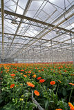 Gerbers Greenhouse Stock Photos