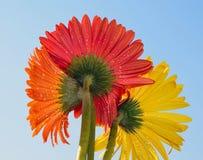 Gerbers multicoloridos Imagem de Stock