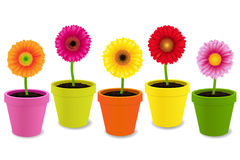 Gerbers In Pots Royalty Free Stock Photo