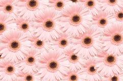 Gerbers roses Photo libre de droits