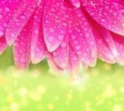 Gerbers roses de pétales photographie stock libre de droits