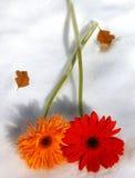 Gerbers su ghiaccio immagini stock libere da diritti