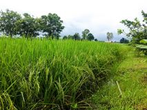 Gerbes de riz Photo stock