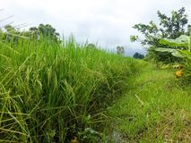 Gerbes de riz Photo libre de droits