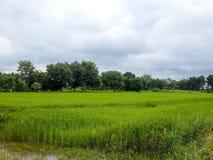Gerbes de riz Photos libres de droits