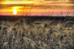 Gerbes jaunes de blé de grain au coucher du soleil Photos libres de droits