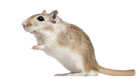 Gerbil, 2 months old, in front of white background Royalty Free Stock Photos