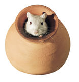 Gerbil Foto de Stock Royalty Free