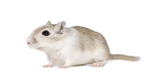 Gerbil Photo stock