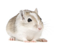 Gerbil photographie stock