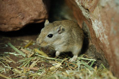 Gerbil do Mongolian Imagem de Stock Royalty Free