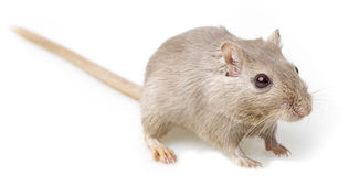 Gerbil Royalty Free Stock Photography