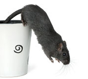 Gerbil jumping from a cup. Gerbil jumping from a big cup over white background stock photography