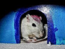 Gerbil looking out of pet house Royalty Free Stock Photos