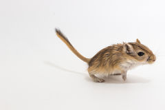 Gerbil mongol d'ordures, rat de désert images stock