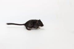 Gerbil mongol d'ordures, rat de désert Images libres de droits