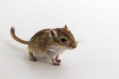 Gerbil mongol d'ordures, rat de désert photos stock