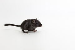 Gerbil mongol d'ordures, rat de désert Image libre de droits