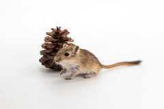 Gerbil mongol d'ordures, rat de désert Image stock