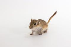 Gerbil mongol d'ordures, rat de désert Photographie stock libre de droits