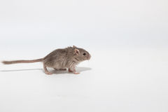 Gerbil mongol d'ordures, rat de désert Photo stock