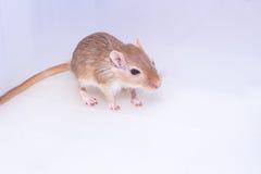 Gerbil mongol, rat de désert Photos libres de droits