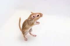 Gerbil mongol, rat de désert Photographie stock libre de droits