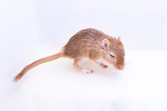Gerbil mongol, rat de désert Photographie stock