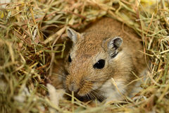 Gerbil in nest Royalty Free Stock Image