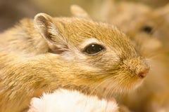 Gerbil ou rats de désert appelés Photographie stock libre de droits