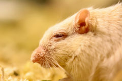 Gerbil ou rats de désert appelés Photos libres de droits