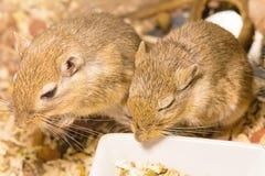 Gerbil ou rats de désert appelés Photos stock