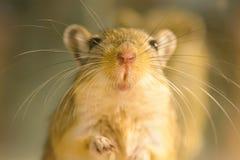Gerbil ou rats de désert appelés Image libre de droits