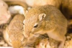 Gerbil ou rats de désert appelés Images libres de droits