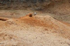 Gerbil peeping from burrow Stock Image