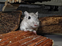 Gerbil on pet house. Gerbil mice are popular pets Stock Image