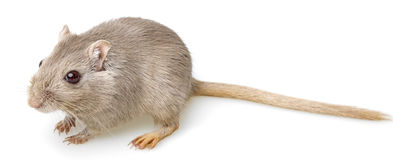 Gerbil - pet on white background Stock Images