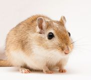 Gerbil Stock Photography