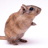 Gerbil Stock Photo