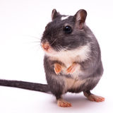 Gerbil Royalty Free Stock Image