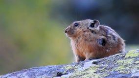 gerbil Wenig Maus, die auf einem Stein sitzt stock video